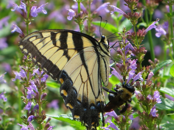 """Female Eastern Tiger Swallowtail on Agastache """"Summer Sky"""" and a bonus bee!  I love the detail in this photo!!!"""